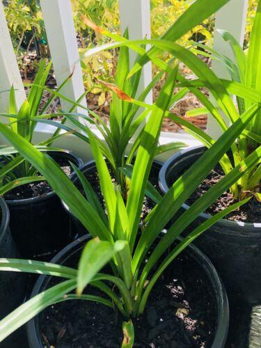 2 Cây Lá Dứa 2 X PANDAN LEAF PLANTS