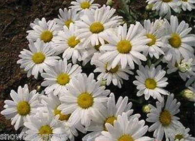 100 grams 180,000 Shasta Daisy Seeds Leucanthemum Maximum Chrysanthemum Flower