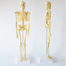 Human Skeleton Anatomical Model Life Size 45cm Medical Poster Learn ...