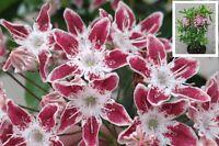 Kalmia latifolia Galaxy® Lorbeerrose Berglorbeer 30-40 cm immergrün winterhart