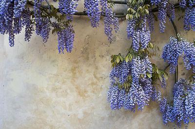 Sternsonnentau Garten Blumen Samen Rarität selten Pflanzen schnellwüchsig Sporen