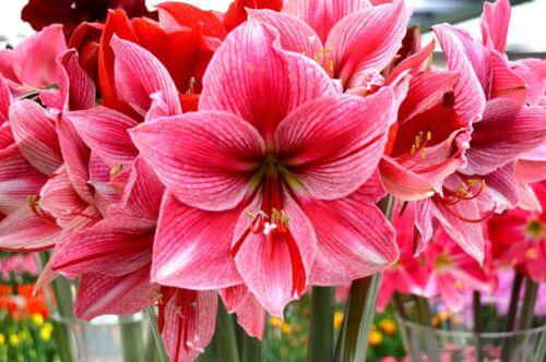Pink Dutch Amaryllis Bulbs Hippeastrum Perennial Fragrant Flower Upright Balcony