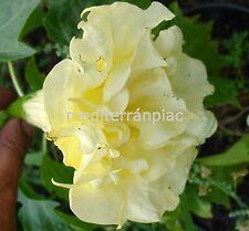 Datura, Stechapfel, Engelstrompete, GOLDEN QUEEN, Riesenblüten,10 Samen,10 seeds