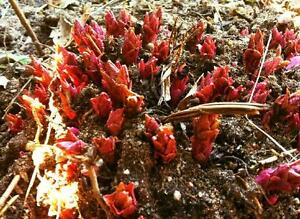 "Caucasian Spinach Hablitzia tamnoides /""Armenian wild variety/"" –15 fresh seeds"