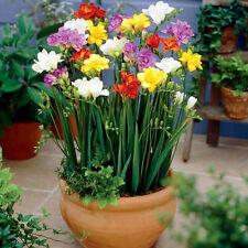 100Pcs Perennial Freesia Perfume Flower Seeds Indoor Garden Rare Bonsai Bulbs