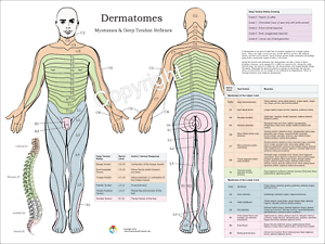Dermatomes Myotomes Nerve Pattern Poster 18 X 24 Chiropractic Dermatomal Chart