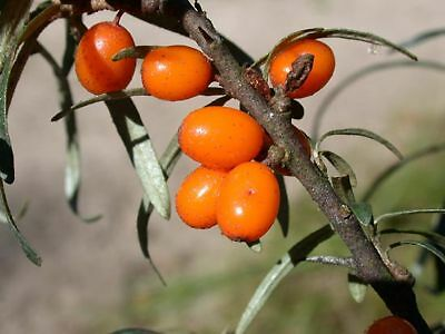 Comestible, Résistant 50 Graines Hippophae Rhamnoides Aubépine Argousier