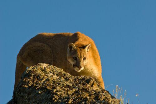 MOUNTAIN LION PUMA COUGAR STYLE B WILDLIFE POSTER PRINT 24x36 HI RES 9MIL PAPER