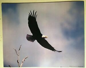 AMERICAN BALD EAGLE BIRD PRAY PORTRAIT CLOSEUP PHOTO ART PRINT POSTER BMP2163A