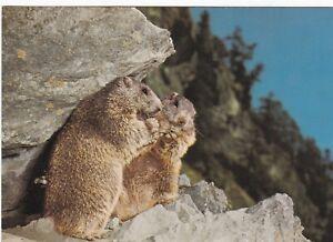 Marmottes-Postcard-used-VGC