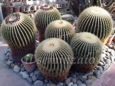 Echinocactus Grusonii cuscino della suocera 20 SEMI