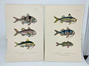 Original-Antique-Hand-Colored-Fish-Print-Lacepede1840-Plates-67-amp-68-Cuvier