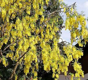 Goldregen übersät mit gelben Blüten sind die Äste des tollen GOLDREGENS