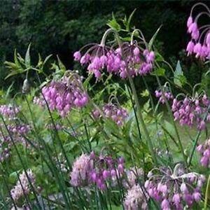 Allium-Cernuum-Nodding-Pink-Onion-50-Seeds-BOGO-50-off-SALE