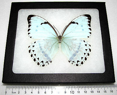 3 REAL MORPHO FRAMED BUTTERFLY INSECT Central America