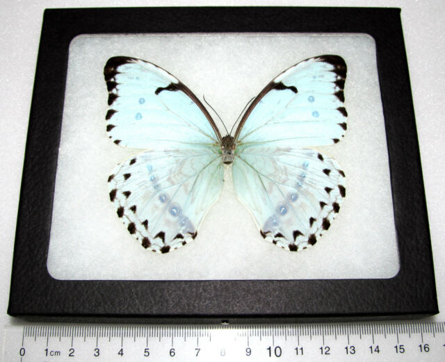Real Framed Butterfly Metallic Ice Blue Morpho CATENARIA Catenerius ...