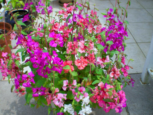 Clarkia pulchella LARGE DOUBLE FLOWERS 4000 SEEDS CLARKIA ARIANNE MIXED