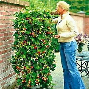 Novelty-Fad-red-100-strawberry-Climbing-strawberry-four-season-fruits-seeds-JS