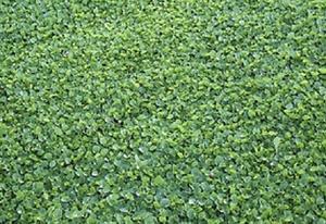 Dichondra Repens - Oreja de Ratón - 2500 semillas - tapizante - cesped
