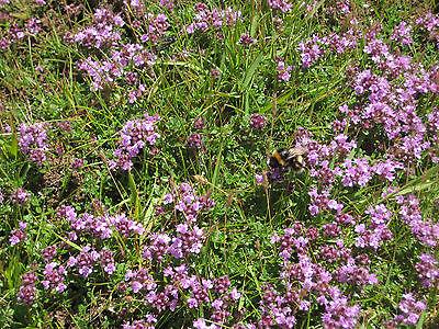 Arznei Feld Thymian 200 Samen Quendel , Thymus Pulegioides Arzneithymian