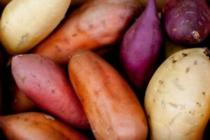100Pcs-Sweet-Potato-Seeds-Vegetable-Eat-2-Kind-Tasty-And-Healthy-Home-Cooking
