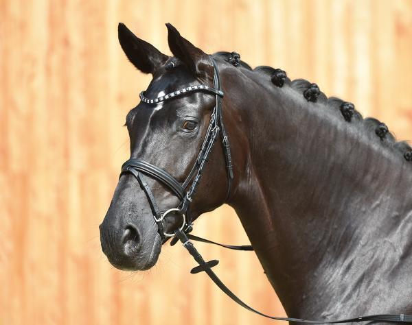BUSSE  Dressage Bridle FASHION - New  Full - Horse - WB size