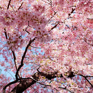 Japanese cherry blossom tree seeds prunus serrulata pink flower ebay image is loading japanese cherry blossom tree seeds prunus serrulata pink mightylinksfo