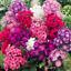 Plantes-de-jardin-100-Pcs-Graines-Vivace-Phlox-Bonsai-Planter-des-fleurs-NEUF-2018-R-P miniature 6