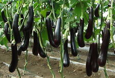 "100 graines - AUBERGINE ""Violette de Barbentane"" - Solanum Melongena"