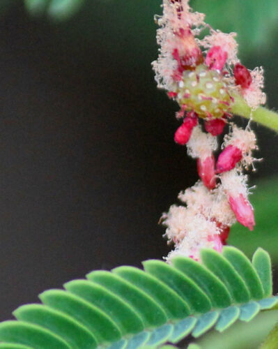 Acacia concinnaShikakaiSoap Pod10/_Seeds