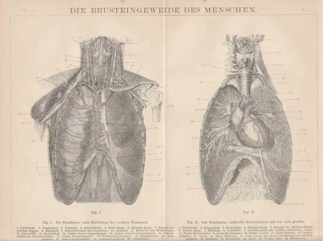 Brusteingeweide Lunge Herz Anatomie HOLZSTICHE von 1882 innere ...