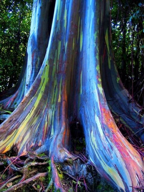 Rainbow Eucalyptus Deglupta Seeds Multi Hued Bark Colorful Tropical Bonsai Rare For Sale Online Ebay