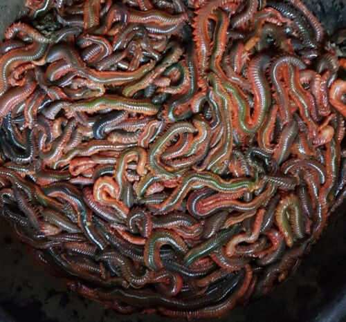 3LB. FRESH RAGWORM order by 12pm next day delivery