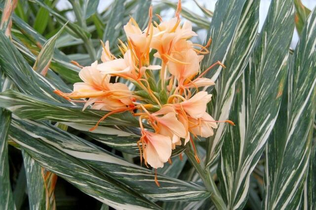 Hedychium 'Titian Flame' Plant in a 17cm Pot. Ginger Lily. Rarely Offered Exotic