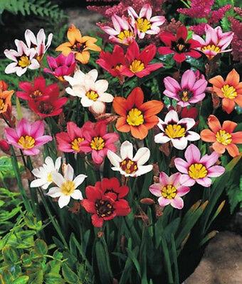 25, 50 oder 100 Sparaxis Mix Zigeunerblume Blumenzwiebeln Lieferbar ab 5.9.