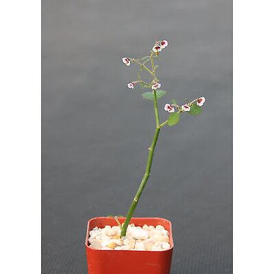 """Euphorbia guiengola exotic rare succulent caudex bonsai hanging  plant  2"""" pot"""