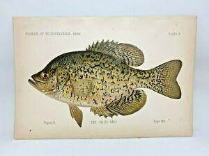 Scarce-First-Denton-Fish-Print-1889-Calico-Bass-Crappie-Original