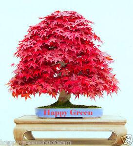 RED-JAPANESE-MAPLE-10-seeds-Acer-palmatum-atropurpureum-BONSAI-SEEDS