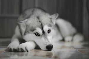A1-Siberian-Husky-Poster-Art-Print-60-x-90cm-180gsm-Dog-Puppy-Cute-Gift-8636