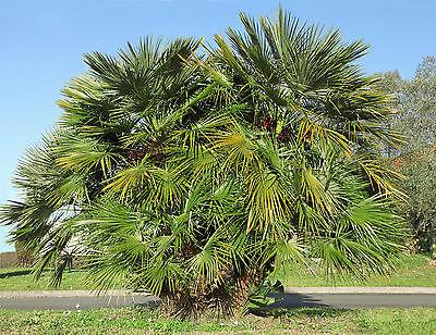 Bene La Nano Palma Una Bella Palma Per Il Giardino Si è Inverno.- Acquista One Give One