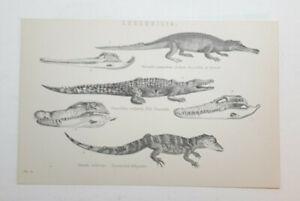 Original 1880 Lithograph. CROCODILIA. Crocodile. Beautiful Condition.