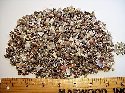 Seashells Tiny beach Sea shells crafts wedding miniature assortment small mixed