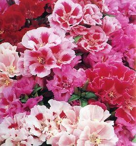 Godetia Azalea Clarkia Double Mix X 200 Seeds Flower Ebay
