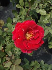 Mr Lincoln Red 4 Gallon Big Live Bush Plant Floribunda Plants Fine Roses Landscape