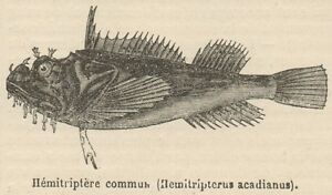 DernièRe Collection De C8429 Hemitripterus Acadianus - Stampa Antica - 1892 Engraving
