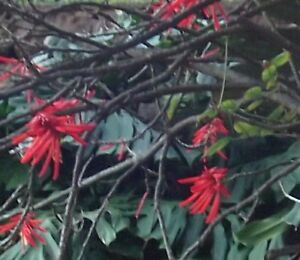 feuerradbaum bl hende pflanzen duftstr ucher duftstauden. Black Bedroom Furniture Sets. Home Design Ideas