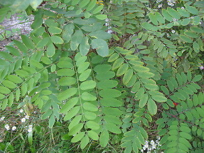 Black Locust Robinia Pseudoacacia Bonsai Trees Seeds Outdoor Ebay