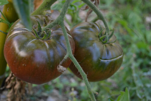 20 graines seeds de tomate brandywine black