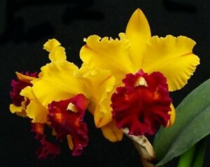 Rare-orchid-species-seedling-size-Brassolaeliocattleya-tainan-gold