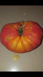 TOMATE-SUPER-STEAK-GIGANTE-150-semillas-seeds